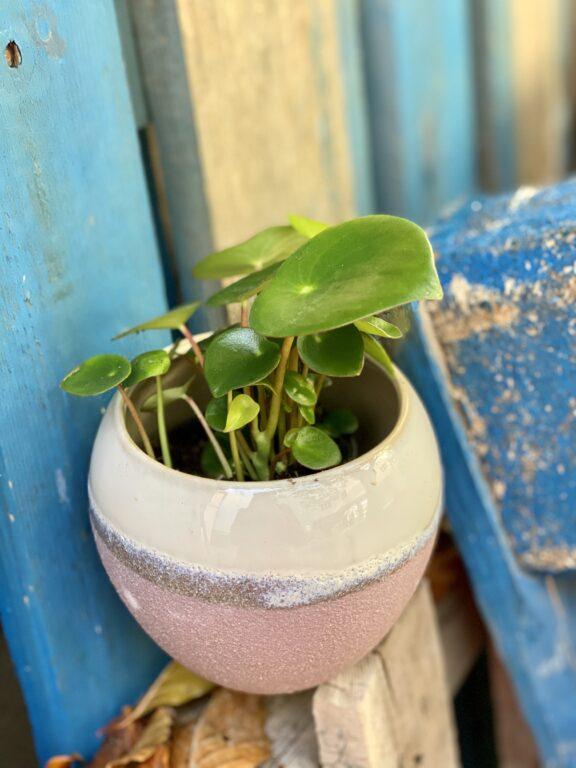 Zdjęcie rośliny Peperomia polybotrya Raindrop, ujęcie 1