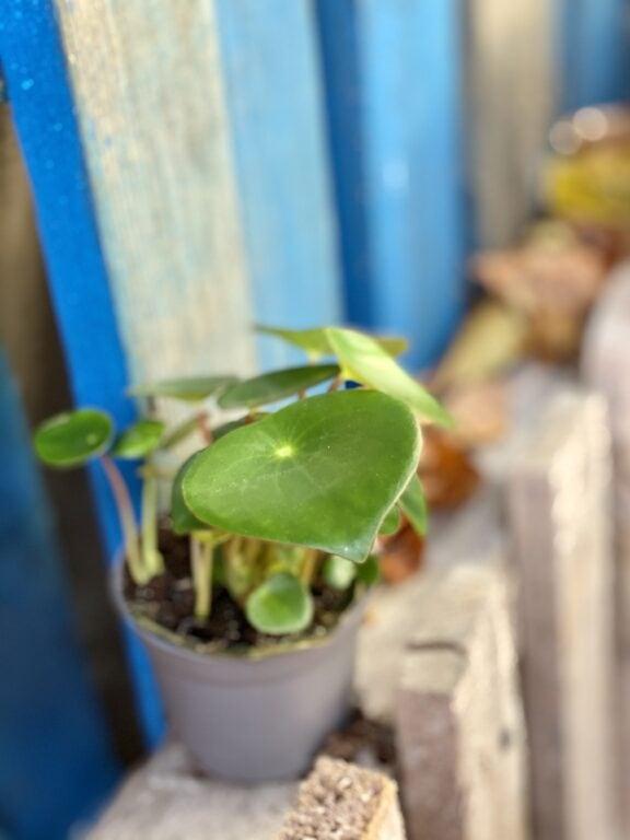 Zdjęcie rośliny Peperomia polybotrya Raindrop, ujęcie 2