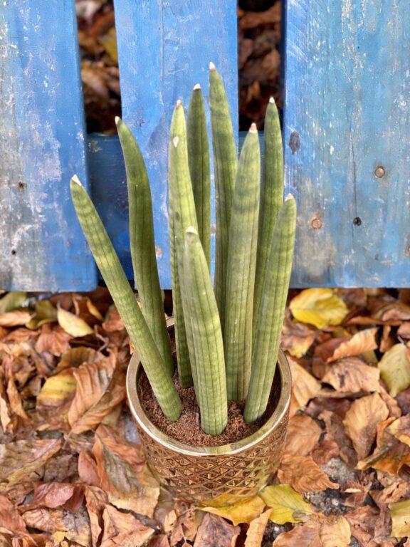 Zdjęcie rośliny Sansevieria Cylindrica Straight, ujęcie 2