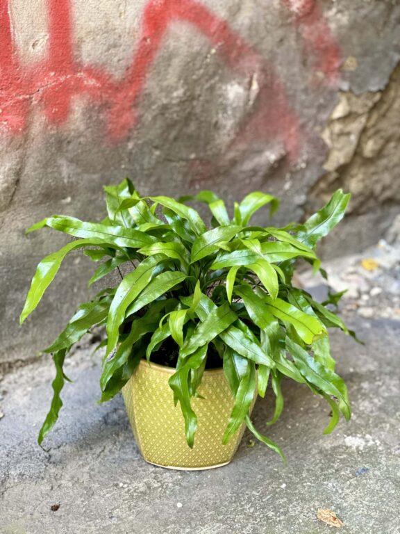 Zdjęcie rośliny Microsorum diversifolium, ujęcie 1