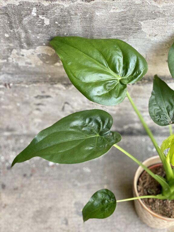 Zdjęcie rośliny Alocasia cucullata, ujęcie 2