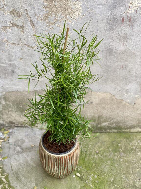Zdjęcie rośliny Asparagus falcatus, ujęcie 1