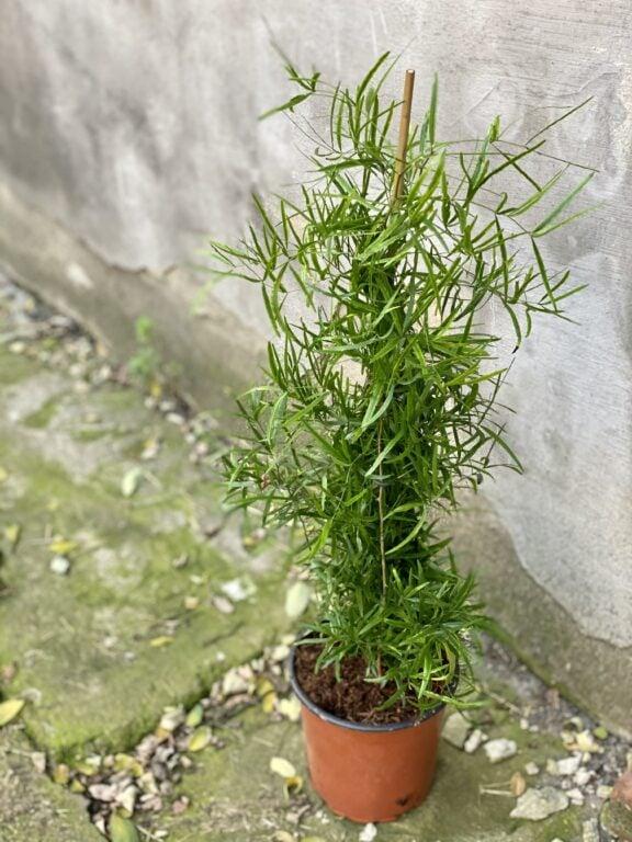 Zdjęcie rośliny Asparagus falcatus, ujęcie 2