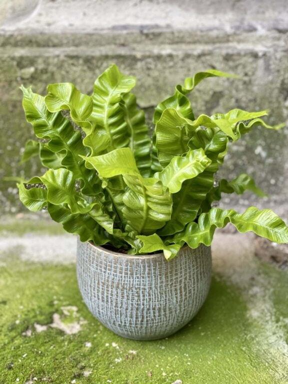 Zdjęcie rośliny Asplenium Crispy Wave, ujęcie 1
