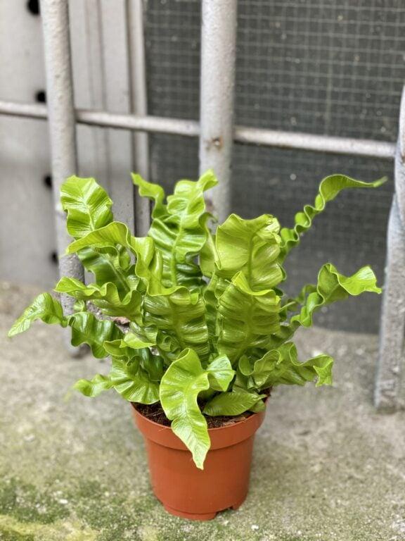 Zdjęcie rośliny Asplenium Crispy Wave, ujęcie 2