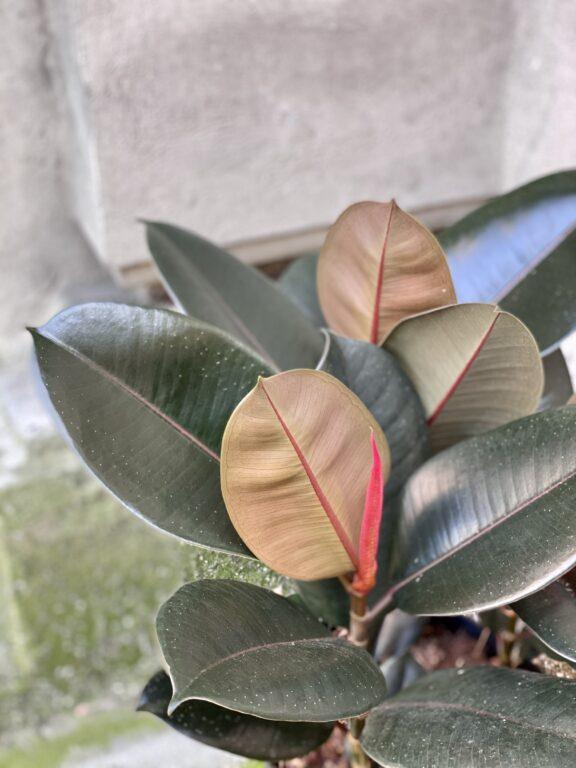 Zdjęcie rośliny Ficus elastica Abidjan, ujęcie 2
