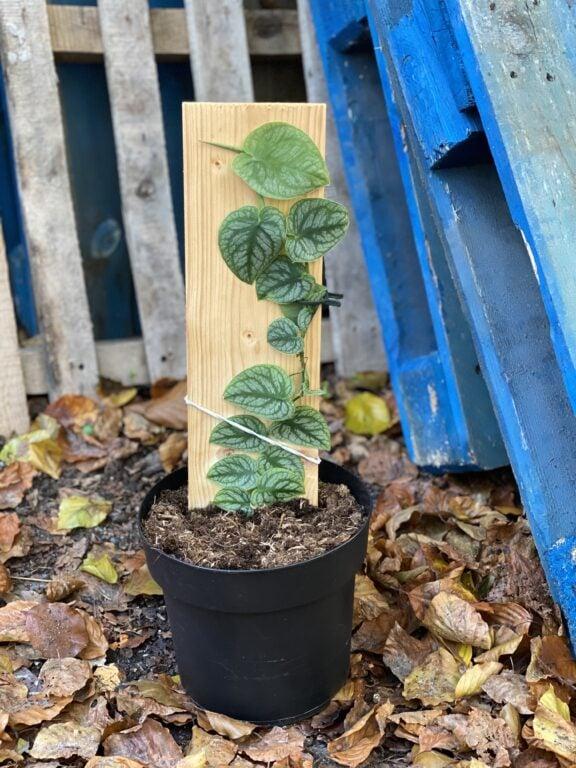 Zdjęcie rośliny Monstera dubia, ujęcie 1