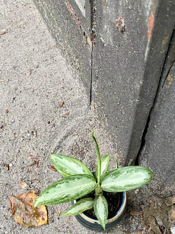 Zdjęcie rośliny Aglaonema White Rain, ujęcie 2