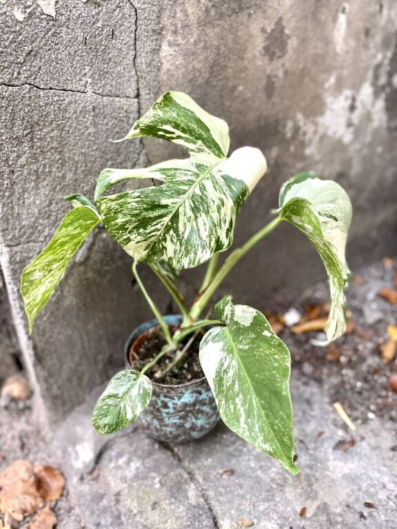 Zdjęcie rośliny Monstera variegata nr 5, ujęcie 1