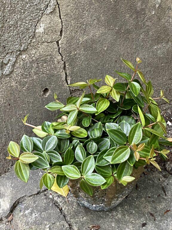Zdjęcie rośliny Peperomia Rocca Scuro, ujęcie 1