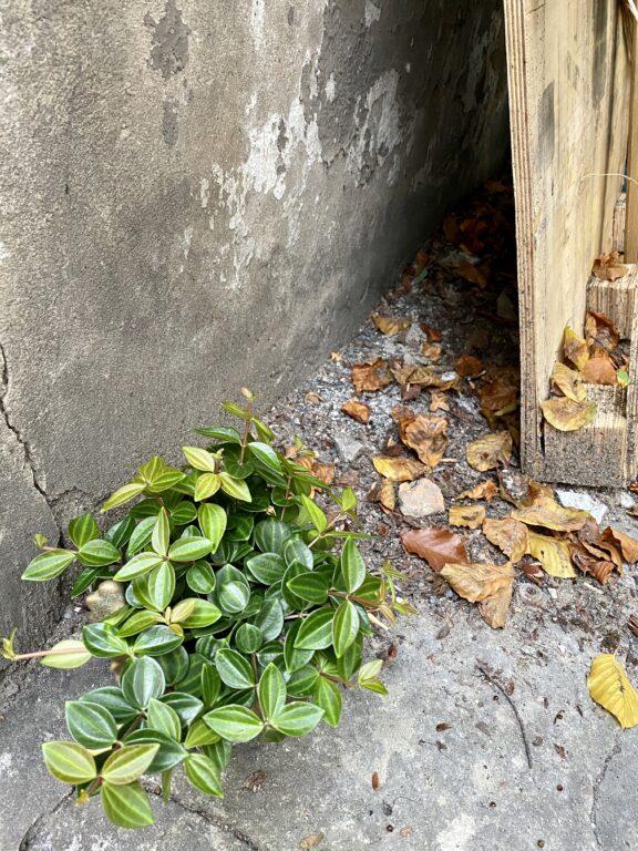 Zdjęcie rośliny Peperomia Rocca Scuro, ujęcie 2