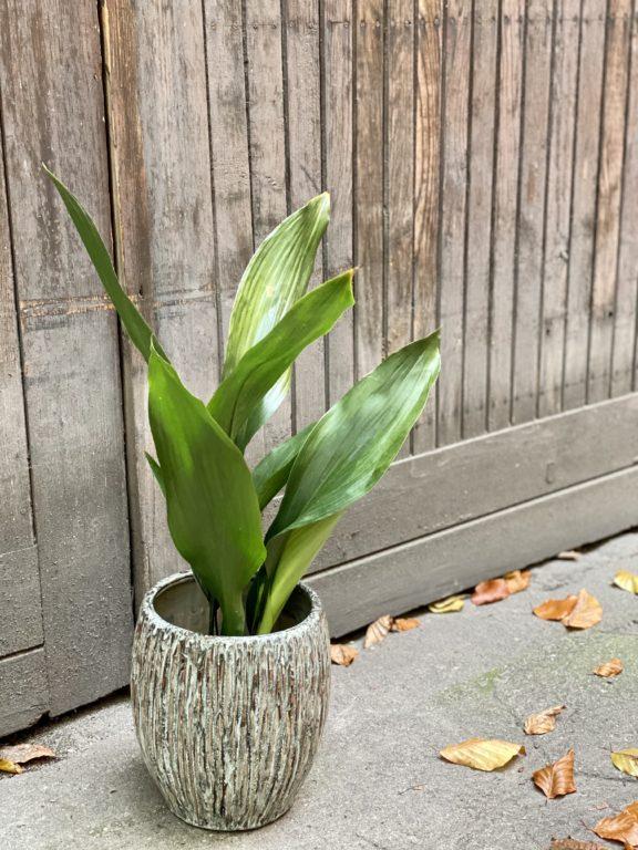 Zdjęcie rośliny Aspidistra elatior, ujęcie 1