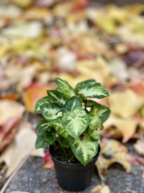 Zdjęcie rośliny Syngonium Pixie (Zroślicha), ujęcie 1
