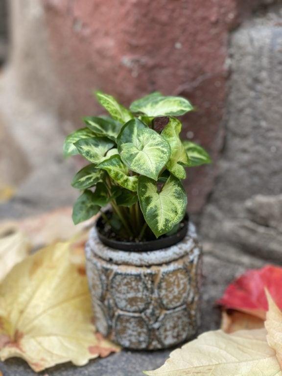 Zdjęcie rośliny Syngonium Pixie (Zroślicha), ujęcie 2