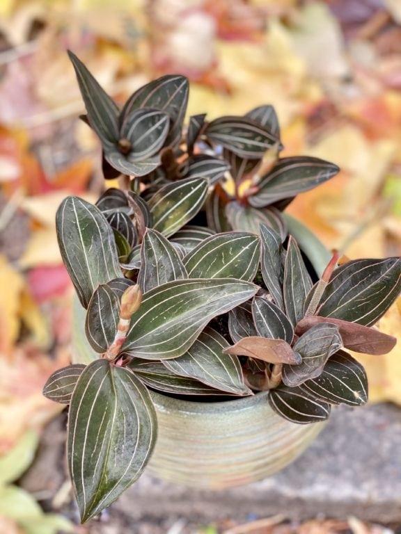 Zdjęcie rośliny Ludisia discolor, ujęcie 1