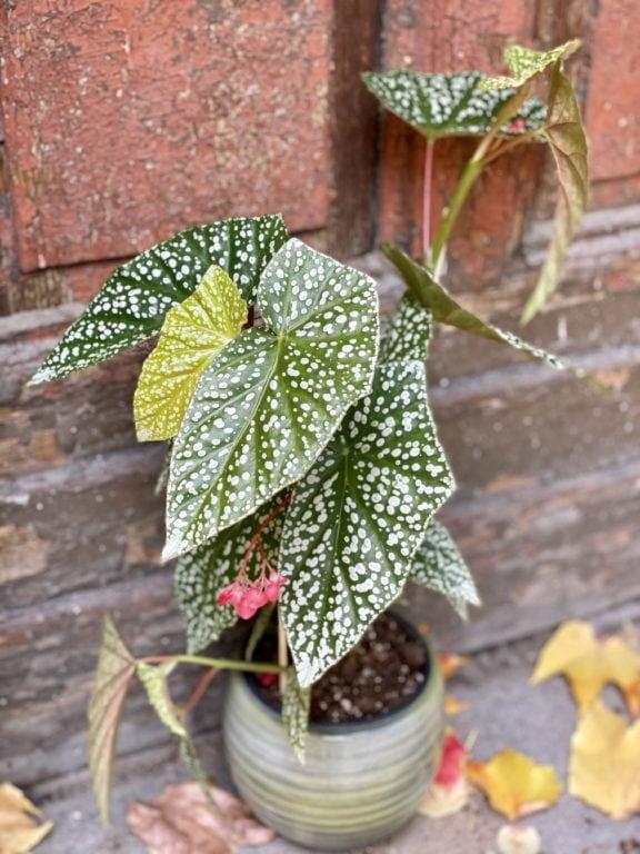 Zdjęcie rośliny Begonia Snow Capped, ujęcie 2