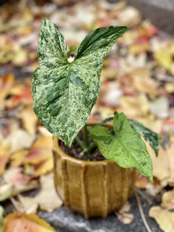 """Zdjęcie rośliny Syngonium podophyllum """"Mottled"""", ujęcie 1"""