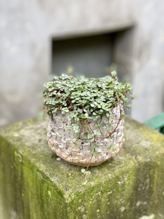 Zdjęcie rośliny Pilea Glaucophylla Greyzy, ujęcie 1