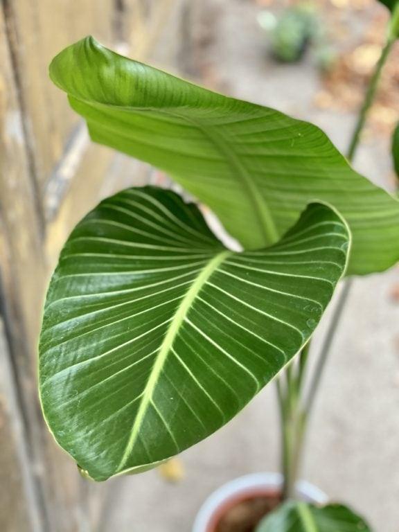 Zdjęcie rośliny Strelitzia nicolai variegata, ujęcie 1