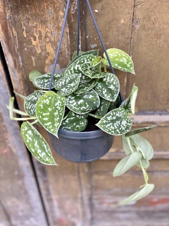 Zdjęcie rośliny Scindapsus Pictus Argyraeus, ujęcie 1