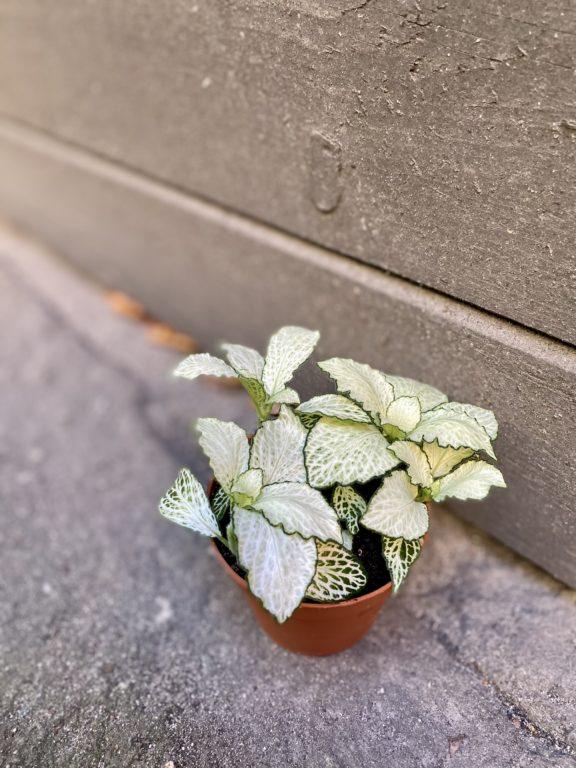 Zdjęcie rośliny Fittonia Mosa Snow Anne, ujęcie 1