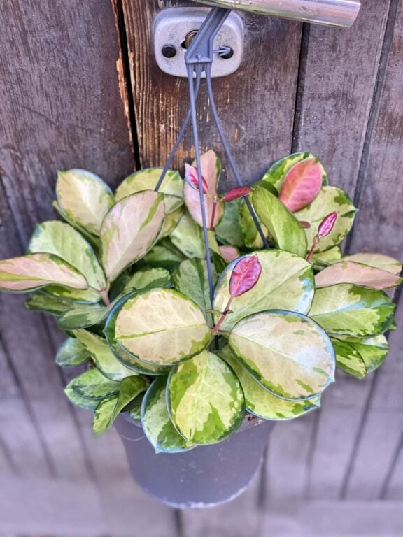 Zdjęcie rośliny Hoya australis Lisa, ujęcie 1