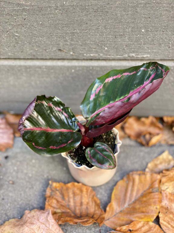 Zdjęcie rośliny Calathea Roseopicta, ujęcie 1