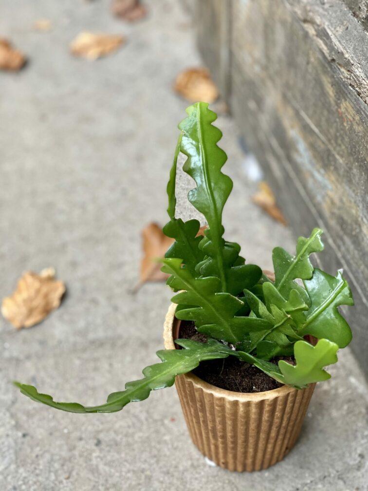 Zdjęcie rośliny Epiphyllum anguliger, ujęcie 1