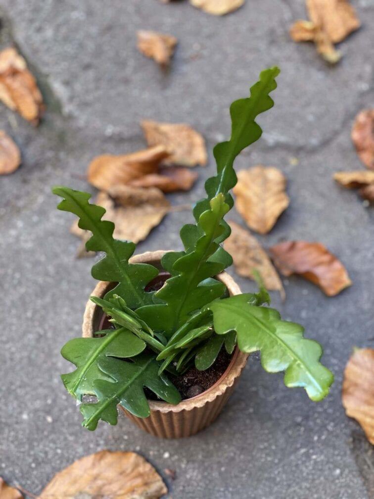 Zdjęcie rośliny Epiphyllum anguliger, ujęcie 2