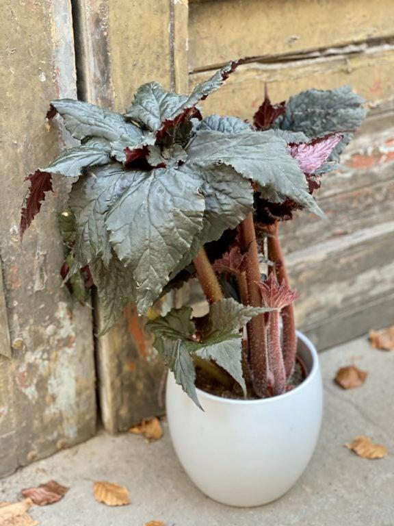 Zdjęcie rośliny Begonia Black Taffeta, ujęcie 1