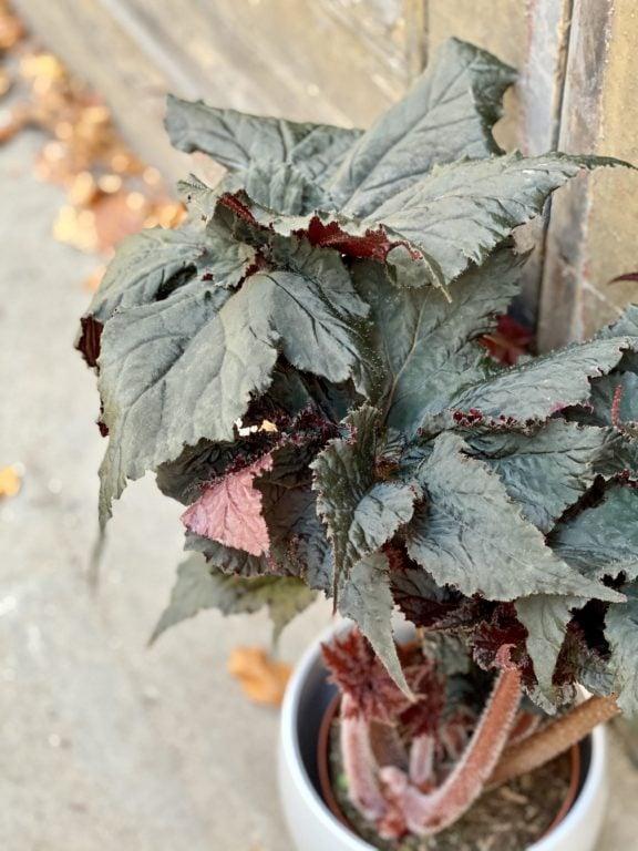 Zdjęcie rośliny Begonia Black Taffeta, ujęcie 2