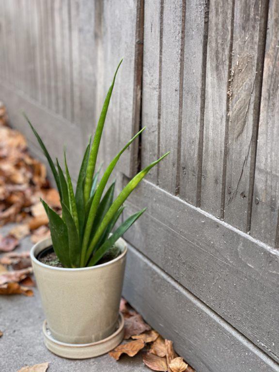 Zdjęcie rośliny Sansevieria Kirkii Friends, ujęcie 1