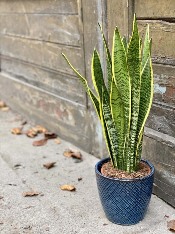 Zdjęcie rośliny Sansevieria Laurenti, ujęcie 1