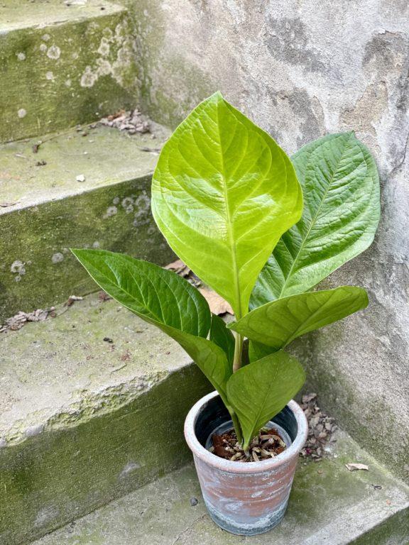 Zdjęcie rośliny Anthurium King, ujęcie 1