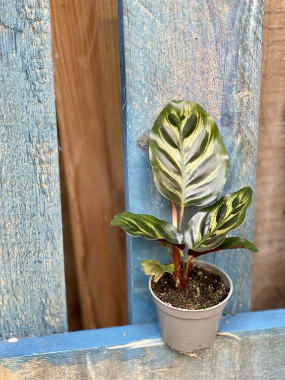 Zdjęcie rośliny Calathea Makoyana, ujęcie 1