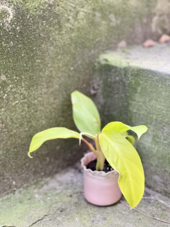 Zdjęcie rośliny Philodendron Malay Gold, ujęcie 1