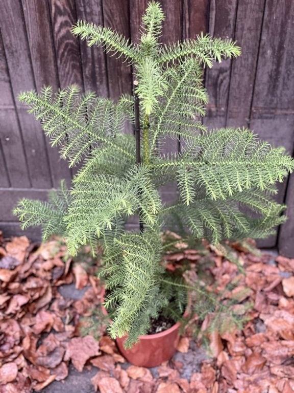 Zdjęcie rośliny Araucaria, ujęcie 1
