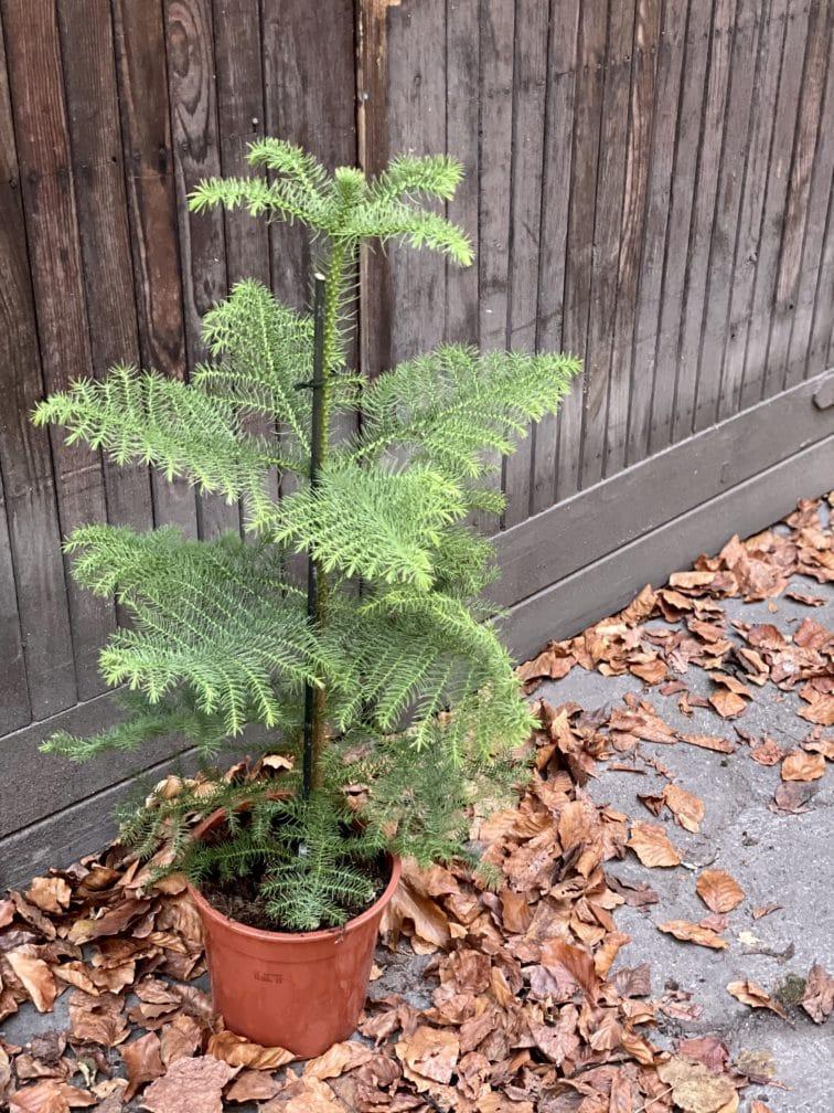 Zdjęcie rośliny Araucaria, ujęcie 2