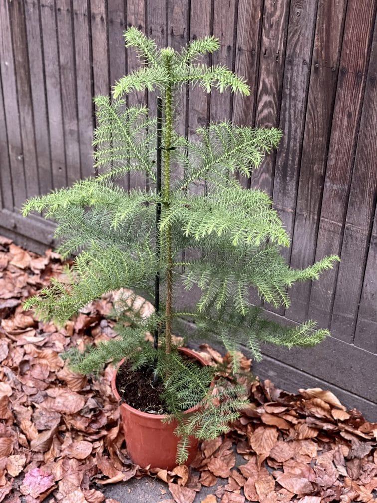 Zdjęcie rośliny Araucaria, ujęcie 3