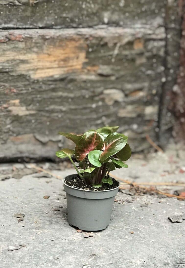 Zdjęcie rośliny Symgonium Maria, ujęcie 3