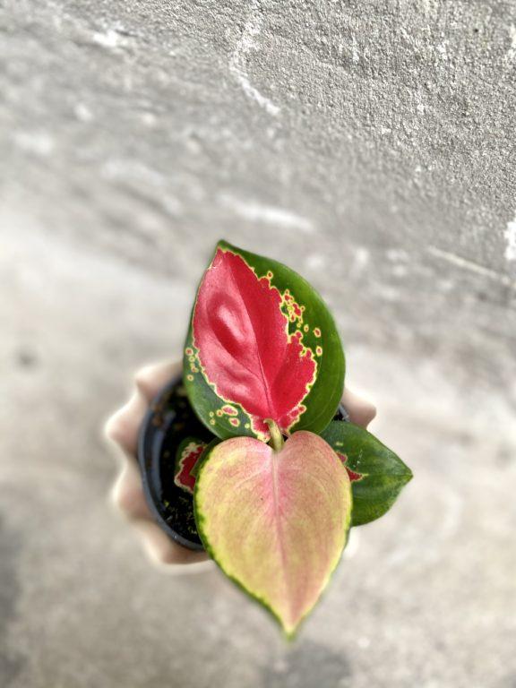 Zdjęcie rośliny Aglaonema Red Cochin, ujęcie 1