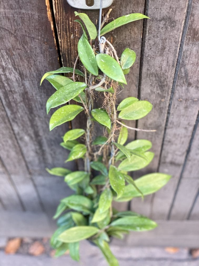 Zdjęcie rośliny Hoya pubicalyx Silver Pink, ujęcie 1