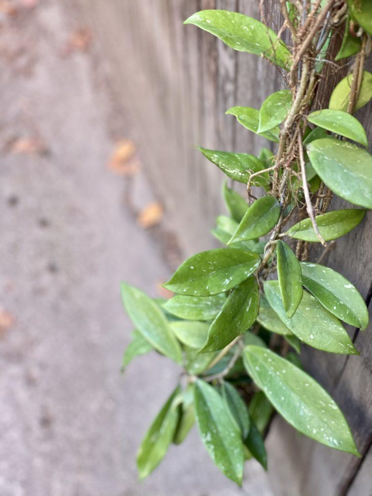 Zdjęcie rośliny Hoya pubicalyx Silver Pink, ujęcie 3