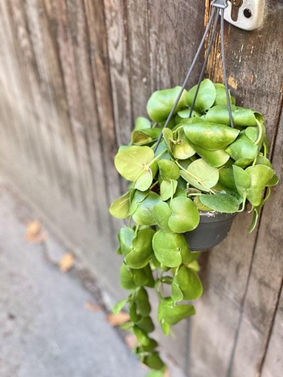 Zdjęcie rośliny Dischidia Platyphylla, ujęcie 1