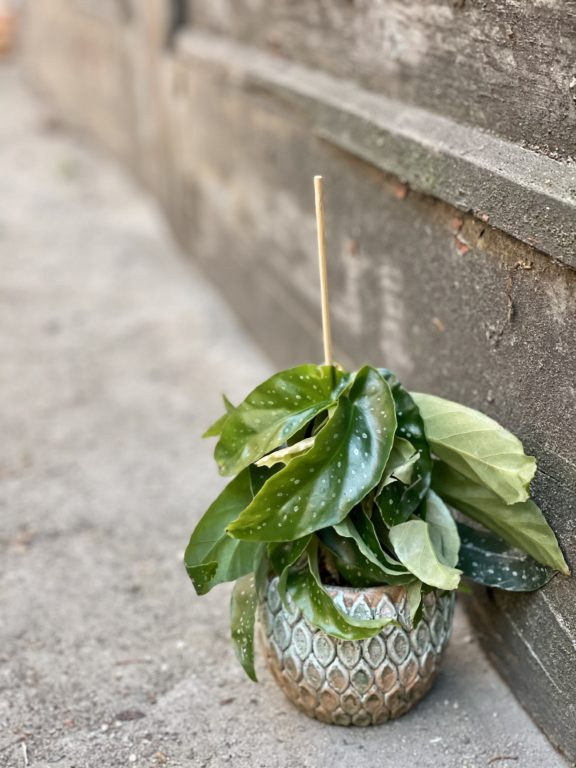 Zdjęcie rośliny Begonia albopicta, ujęcie 1