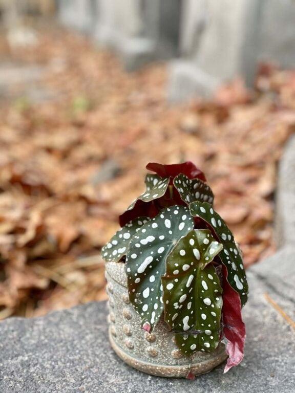 Zdjęcie rośliny Begonia Maculata, ujęcie 1