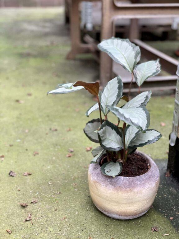 Zdjęcie rośliny Calathea picturata Argentea, ujęcie 1