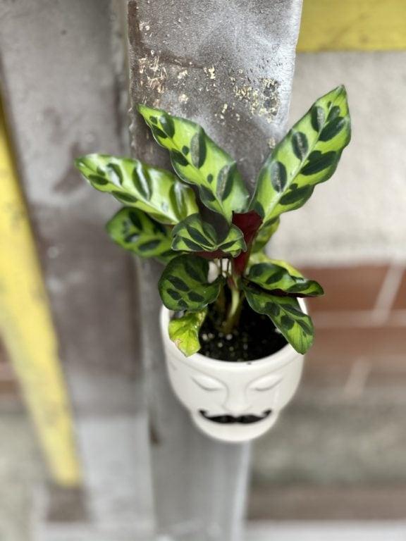Zdjęcie rośliny Calathea Lancifolia, ujęcie 1