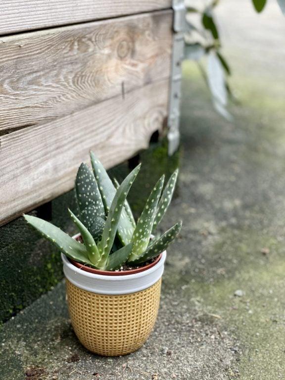 Zdjęcie rośliny Aloe paradisicum (Aloes), ujęcie 1