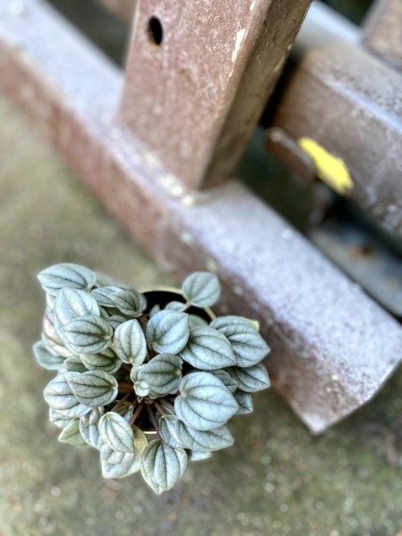 Zdjęcie rośliny Peperomia Milano, ujęcie 1